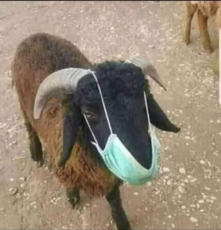 Goat with mask.