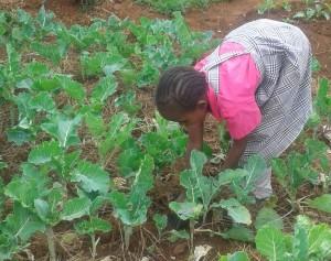 Weeding the school vegetable garden